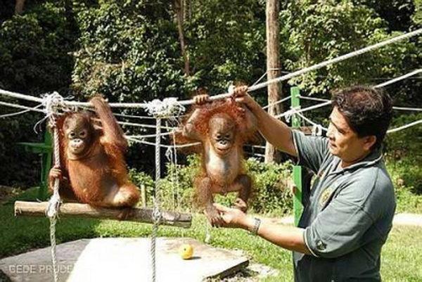 ศูนย์อนุรักษ์สัตว์เซปิลก Sepilok Rehabilition Centre มาเลเซีย